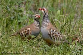 Red Leg/French Partridge